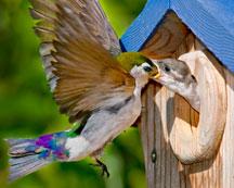 Swallow Feeding. Photo by Christine Hansen
