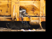 Raccoons in Dumpster with Plastic Soda Ring
