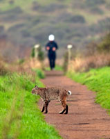 Bobcat on Trail with Jogger