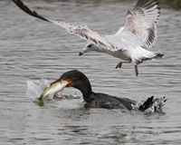 Cormorant and Gull - Chase for the Big Fish