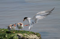 Forster's Tern with Babies