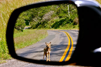 Coyote in Side-view Mirror. Photo by Tony Koloski