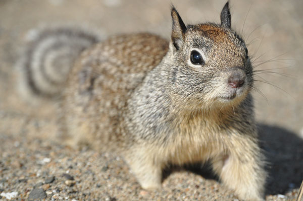Ground_Squirrel_Jacobsen_600.jpg