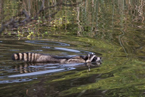 Raccoon swimming. Photo by Marianne Hale