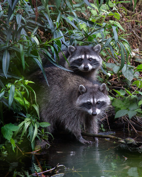 Two Juvenile Raccoons. Photo by Marianne Hale