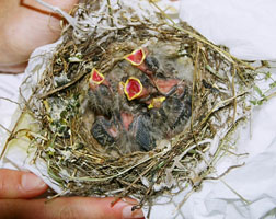 Orphaned baby finches. Photo by Melanie Piazza