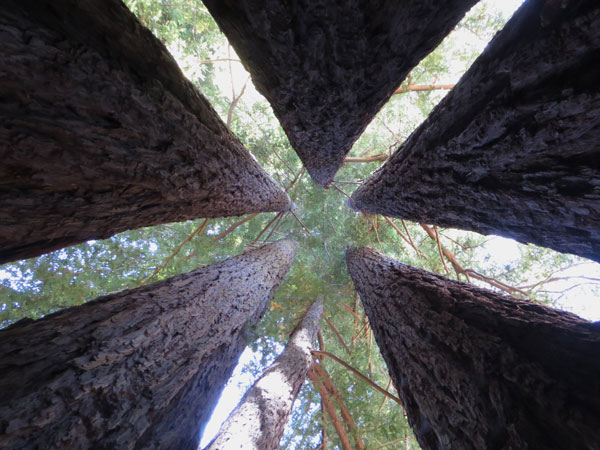 Redwood_trees_Gnatek_600.jpg
