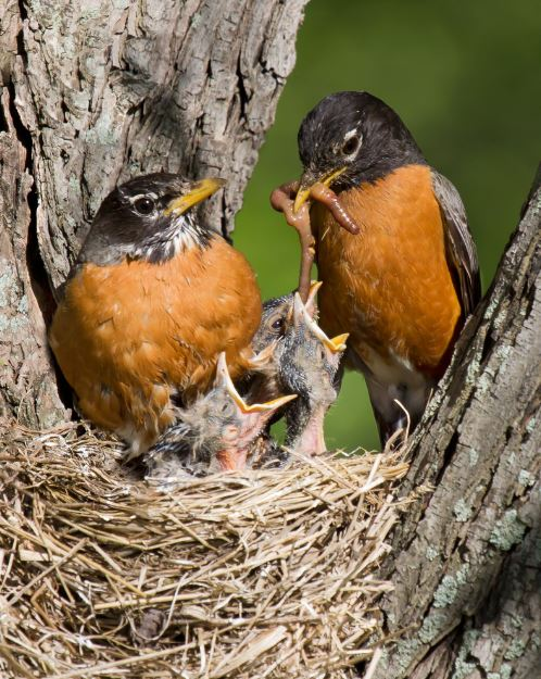 Family of American Robins