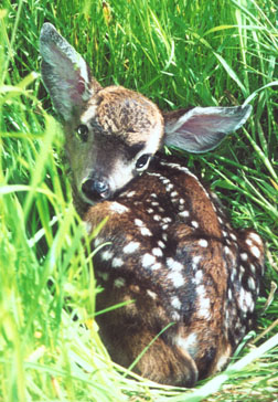 Fawn in grass. Photo by Susan Sasso