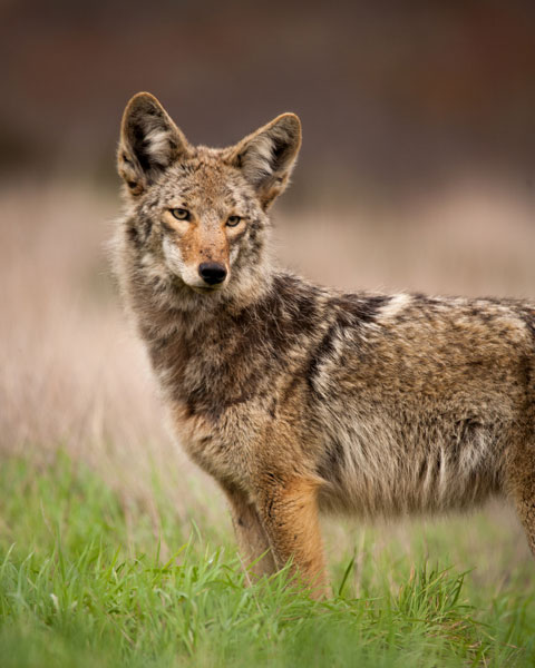 Coyote Portrait. Photo by Christopher Whittier