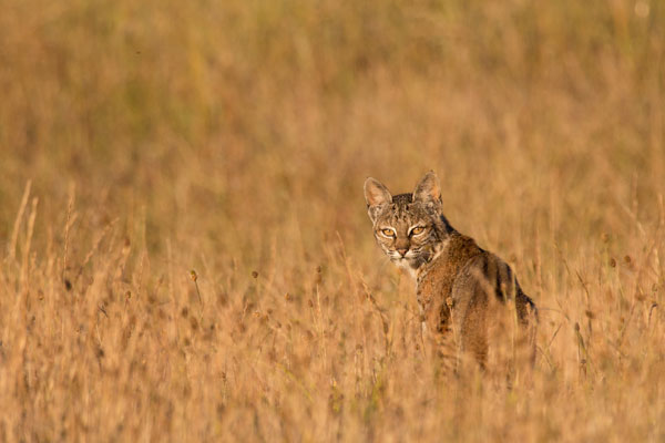 bobcat_in-field_Kallman_600.jpg