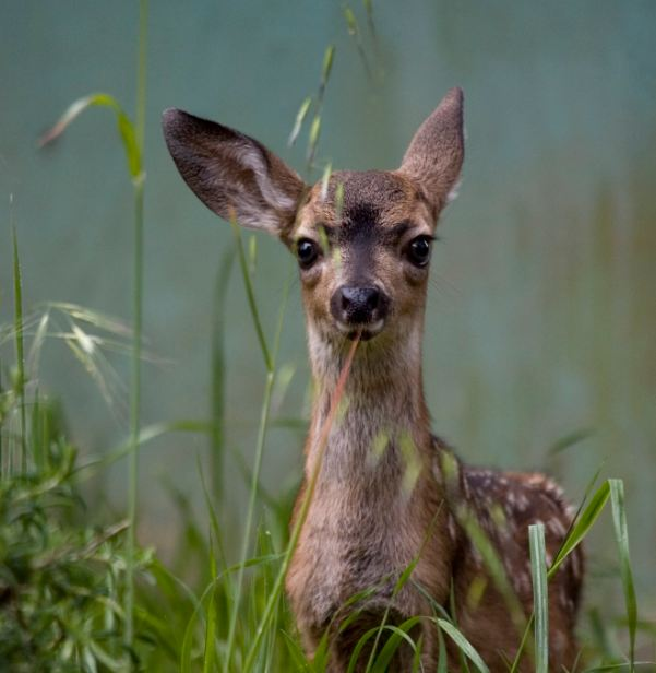 Fawn photo by Trish Carney