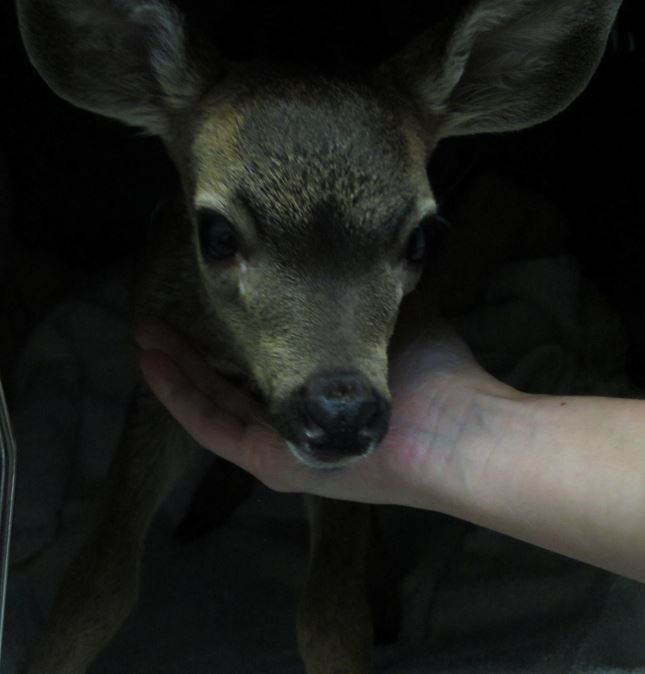 Orphaned fawn at WildCare. Photo by Alison Hermance
