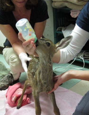 Fawn receiving Pedialyte. Photo by Alison Hermance