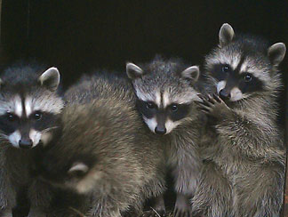 Raccoons at WildCare. Photo by Christine Margle