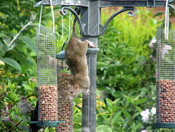 Rat at birdfeeder. Photo by Laura Lind