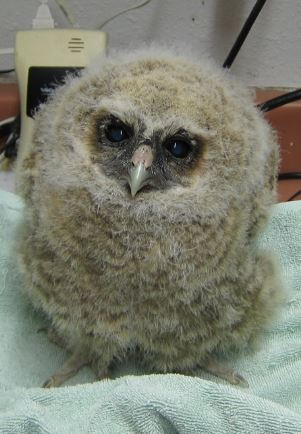 Baby Northern Spotted Owl on scale. Photo by Alison Hermance