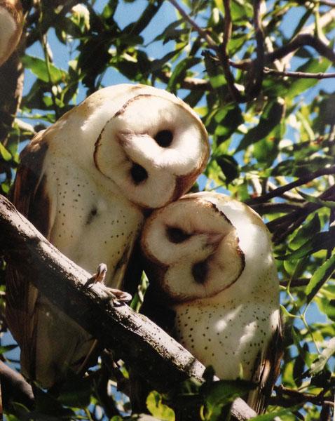 two-barn-owls_walter_600.jpg